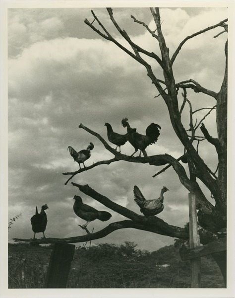 Chickens roosting in tree, 1975