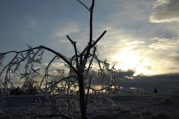 Ice-damaged tree, covered with ice, at sunset, December 14, 2008