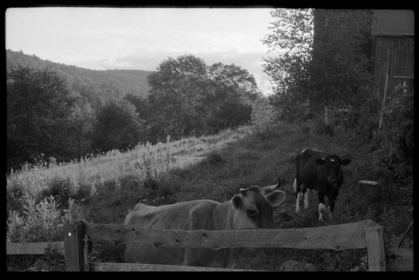 Cows (Jersey in front) in a pen by the barn, Montague Farm Commune, ca. 1980