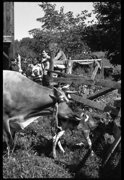 Jersey cow and new born calf in a pen, Montague Farm Commune: Commune members in the background include Nina Keller (far left) and Tony             Mathews (second from right): , ca. 1980