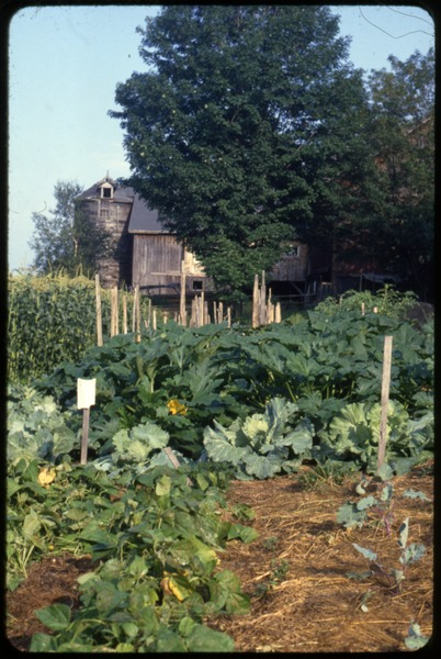 The  vegetable garden, Montague Farm Commune: Beans, squash, cabbage, and corn in foreground, the barn at the rear: , ca. September 1979