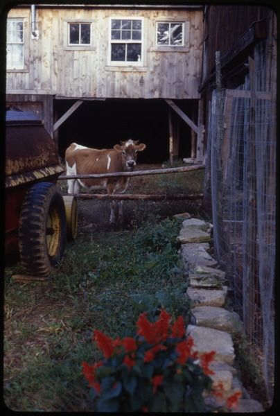 Jersey cow by the side of the barn, Montague Farm Commune, ca. September 1979
