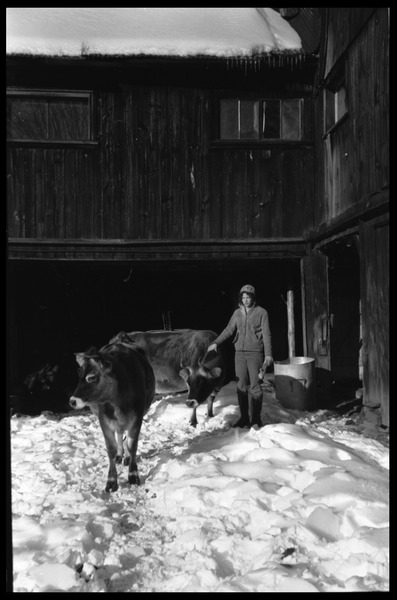 Cows and Nina Keller by the barn in winter, Montague Farm commune, ca. 1969