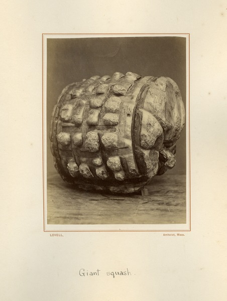 Giant Squash, Massachusetts Agricultural College, ca. 1876